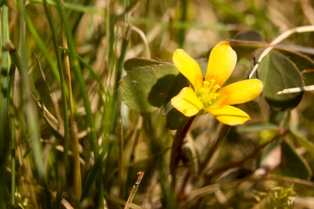 creeping woodsorrel: Beautiful creeping woodsorrel in a country meadow.