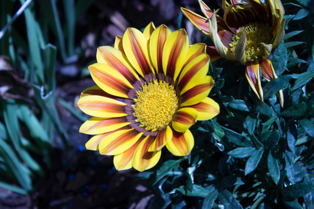 Beautiful two yellow gazania with white stone on the garden Stock Photo