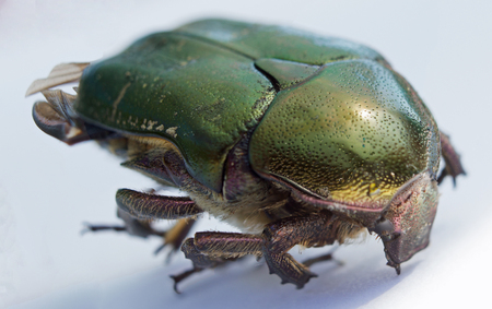 Single green rose chafer on a white background Stock Photo