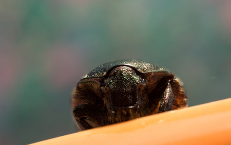 Single green rose chafer on a colour background with a orange rest.