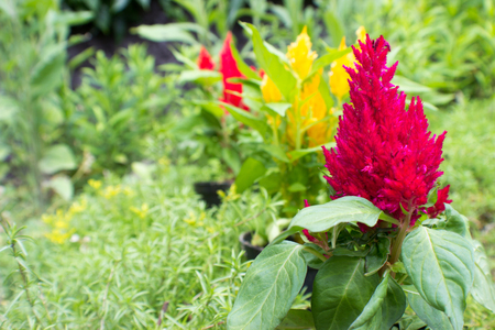 unapproved: Focus on the violet Amaranthus in the foreground. In the background are the unapproved yellow and red amaranthus.