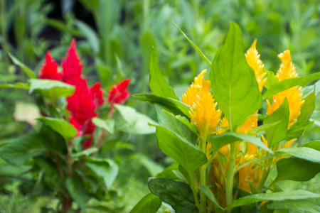 unapproved: Focus on the yellow Amaranthus in the foreground. In the background is the unapproved red amaranthus.