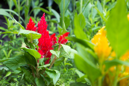 unapproved: Focus on the red Amaranthus in the background. In the foreground is the unapproved yellow amaranthus.