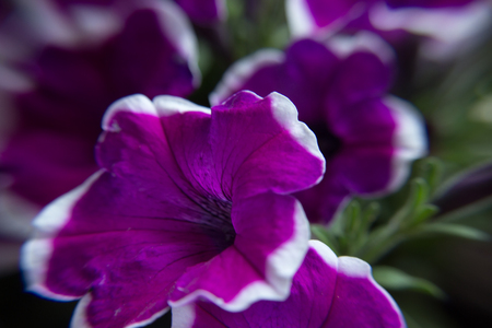 Beutiful purple petunias with leaves in the garden Stock Photo