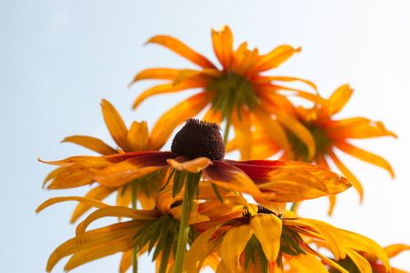 coneflowers: The species of rudbeckia are commonly called coneflowers and black-eyed-susans. All are native to North America and many species are cultivated in gardens for their showy yellow or gold flower heads.