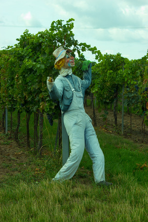 A scarecrow patrol the vineyard in front of the birds. In the background grows the grapevine.