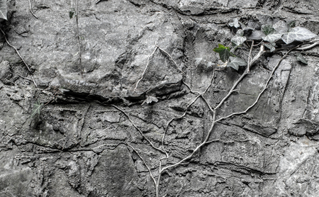 A twig of ivy on a stone wall Stock Photo