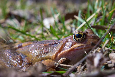 Common frog in the wild on the dry leaves in grass . The common frog - rana temporaria is a semi-aquatic amphibian of the family ranidae