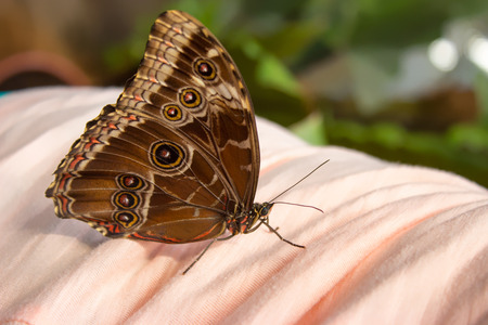 Close morpho peleides on the pink cloth. In the background is a green forest.