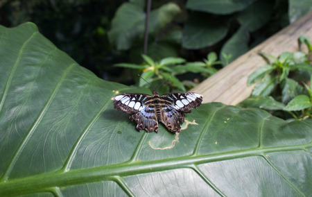Parthenos sylvia - clipper species of nymphalid butterfly on green leaf.