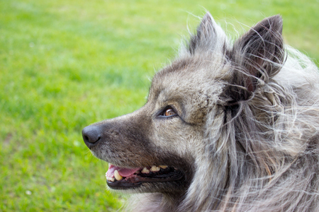 In the foreground is detail of head of keeshond ( german spitz wolfspitz ) on a green background Stock Photo
