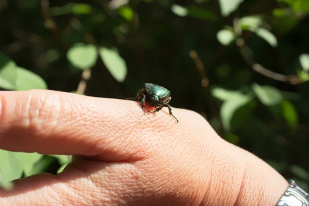 Cetonia aurata - rose chafer or the green rose chafer - beetle on a hand