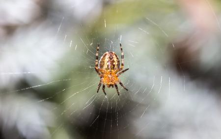 Macro photo of spider in his home spiderweb lurks on his prey. 版權商用圖片