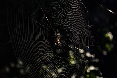 Spinne in seinem Heimspinnennetz bei Sonnenuntergang lauert auf seiner Beute. Die Strahlen der untergehenden Sonne beleuchten die Blätter des Busches im Hintergrund.