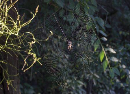 Une araignée dans sa toile d'araignée au coucher du soleil se cache sur sa proie. Les rayons du soleil couchant illuminent les feuilles du buisson. Banque d'images