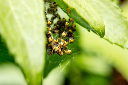 Macro of spider nest with small yellow garden spiders araneus diadematus on leaves in the forest