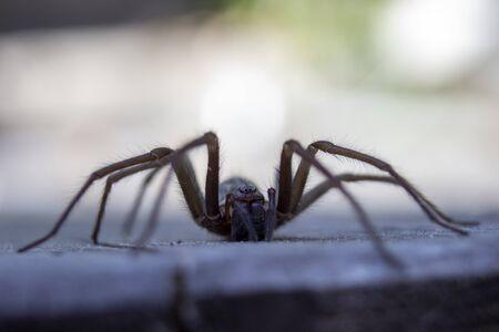 Detail of giant house spider eratigena artica on wood bokeh background