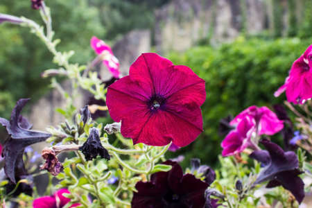 Beautiful pink petunias with leaves in the garden 免版税图像