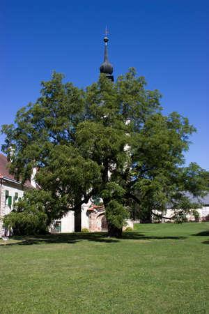Grown black walnut in front of Uhrovice castle, Czech Republic, Europe 新聞圖片