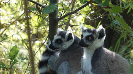 Family of lemurs catta in the forest watching the predators