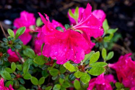 Macro detail of pink azalea japonica with dew drops on a garden 版權商用圖片