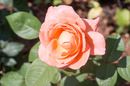 Beautiful orange rose with leaves in the garden 免版税图像