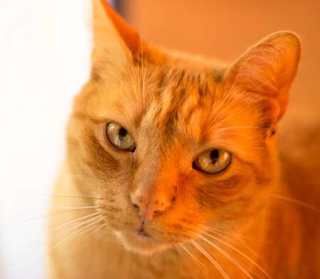 Beautiful detail of domestic rusty cat face 免版税图像