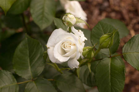 Beautiful white rose and bud with leaves in the garden 免版税图像