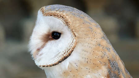 Detail of a head barn owl these albums 免版税图像