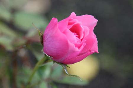 delicate pink rose blossomed in the garden Standard-Bild