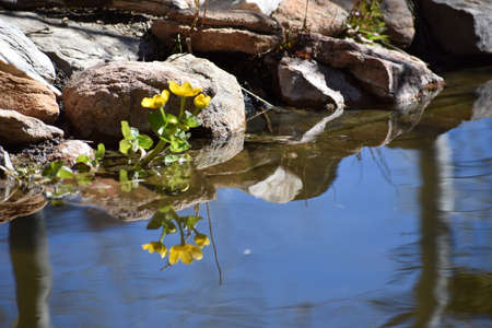 Marsh Marigolds by a Pond Stock Photo