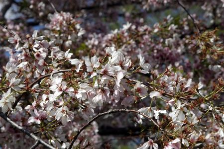 Washington DC cherry blossoms in late stage bloom