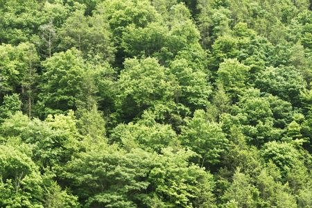 Wall of green trees in the forest.