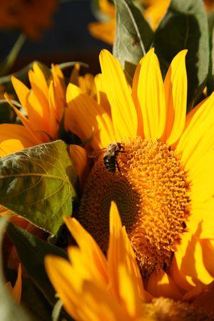 Honey Bee on Sunflower in bright sunshine