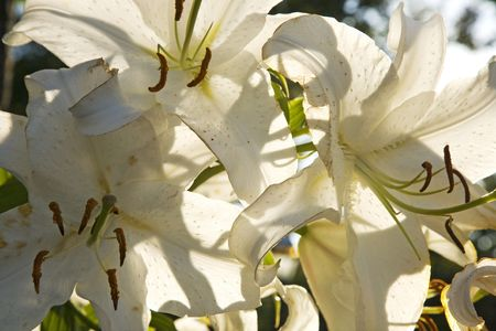 White Lilies backlit on a strong sunny day