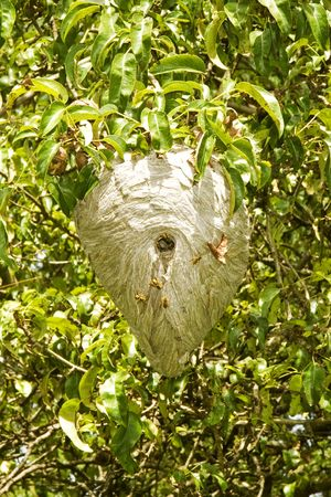 Active Yellowjacket nest in a pear tree. photo