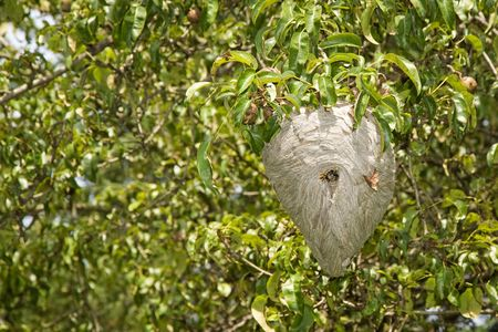 Yellowjacket nest hanging in a pear tree photo