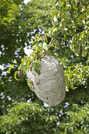 Yellowjacket nest hanging in a pear tree