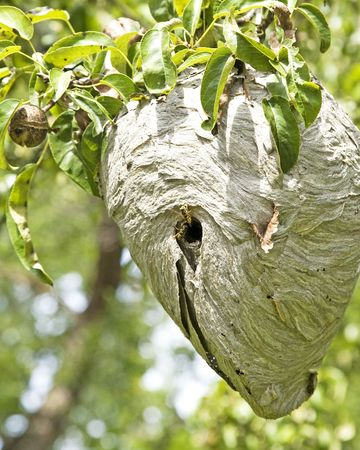 Active Yellowjacket nest in a pear tree.