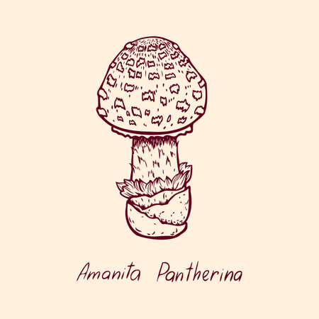 Forest poisonous mushroom Amanita Pantherina edible and non-edible boletus in retro sketch. Element isolated on white
