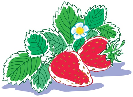 Two strawberries with leaves and flower. Isolated on white illustration. Illustration