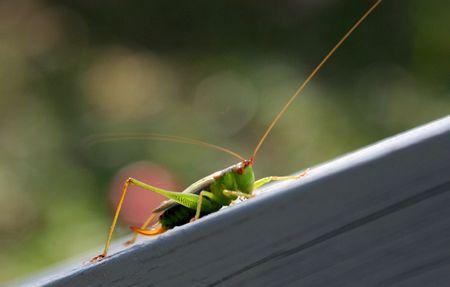 Grasshopper sitzen auf einem gemalte hölzerne Geländer mit Handlauf Standard-Bild - 2175632
