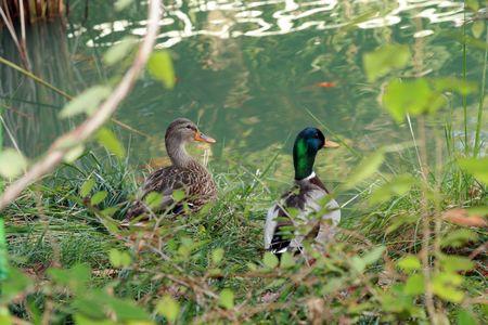 Zwei Stockenten Sitzung Entspannung genießen einen schönen Abend Standard-Bild - 2175662