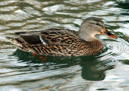 Eine sehr schöne weibliche Ente Schwimmen mit Reflexion Standard-Bild - 2175657