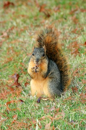 A squirrel posing for a portrait while eating a delicious acorn photo