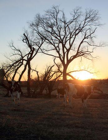 Weidenden Kühe bei Sonnenuntergang  Standard-Bild - 2527107
