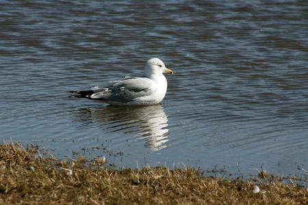 Seemöve im Wasser mit hübscher Reflexion Standard-Bild - 2578017