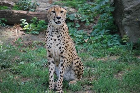 Cheetah Stock fotó