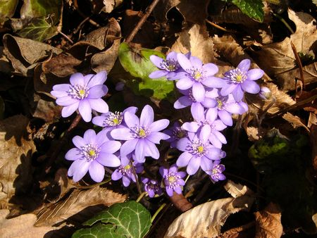 hepatica: Flover - hepatica  Stock Photo