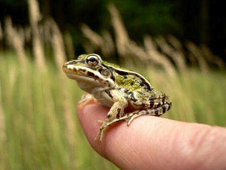 sitt: Young frog on finger